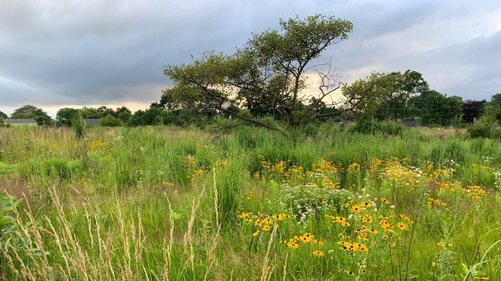 Blooming prairie black eyed susan and yarrow