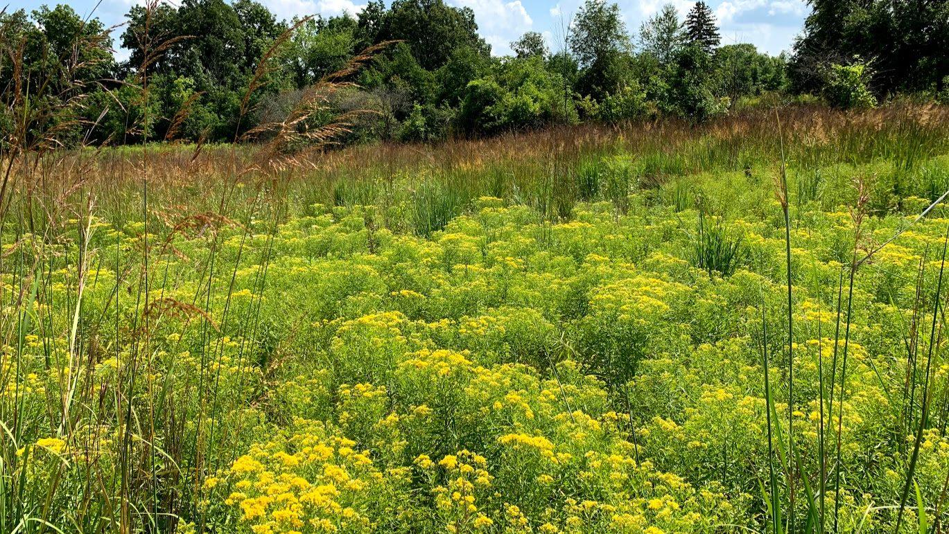 blooming prairie meadow goldenrod grasses