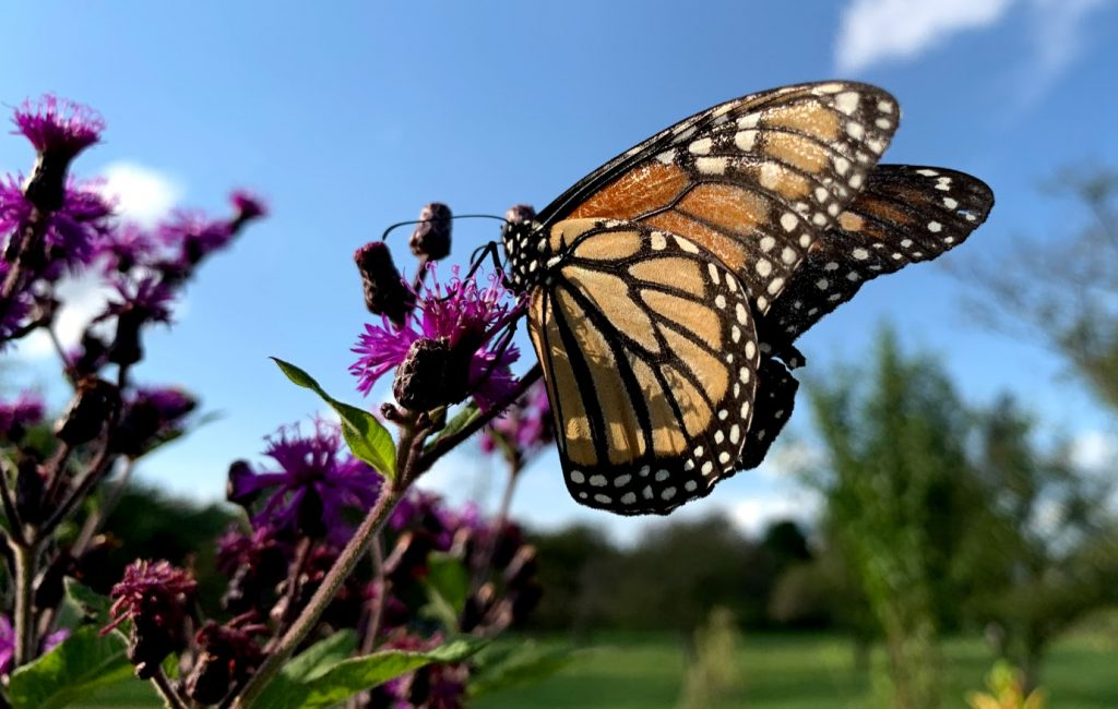 Monarch butterfly iron weed