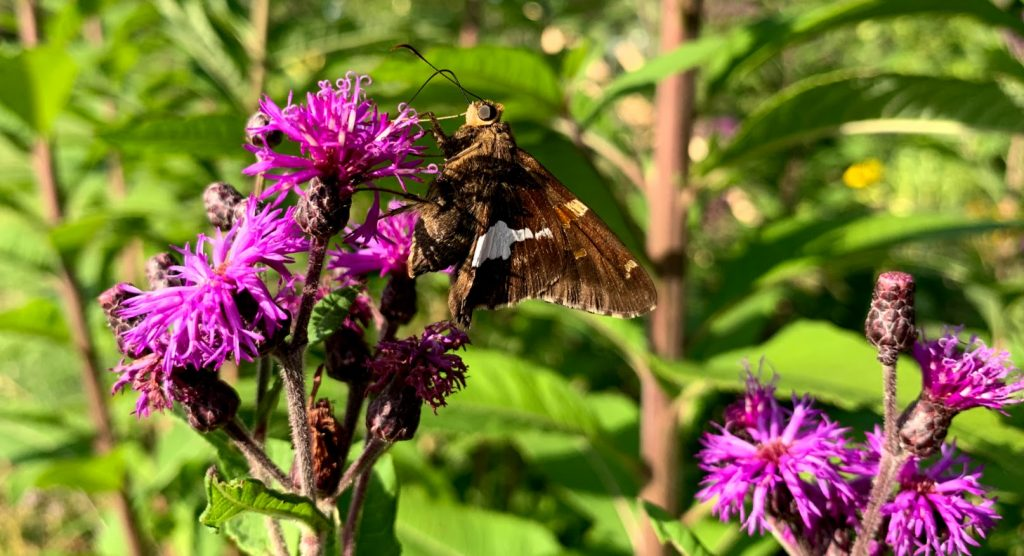 Skipper butterfly iron weed